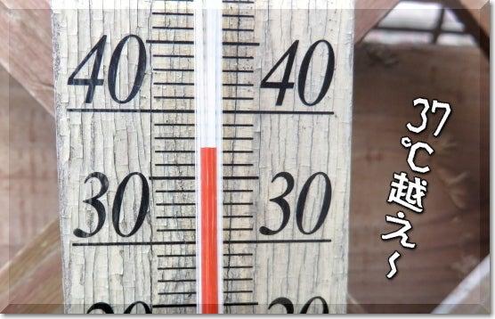 柴犬コタロウの徒然川柳 こたせん-37℃!