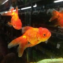 夜のひとりごと・金魚