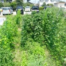 タイ料理向け野菜育つ…
