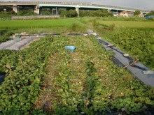 耕作放棄地を剣先スコップで畑に開拓!有機肥料を使い農薬無しで野菜を栽培する週2日の農作業記録 byウッチー-130819苗取用サツマイモ0422植初収穫終了04