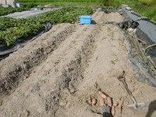 耕作放棄地を剣先スコップで畑に開拓!有機肥料を使い農薬無しで野菜を栽培する週2日の農作業記録 byウッチー-130819苗取用サツマイモ0422植初収穫終了08