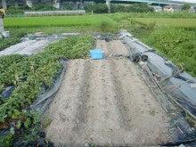 耕作放棄地を剣先スコップで畑に開拓!有機肥料を使い農薬無しで野菜を栽培する週2日の農作業記録 byウッチー-130819苗取用サツマイモ0422植初収穫終了07