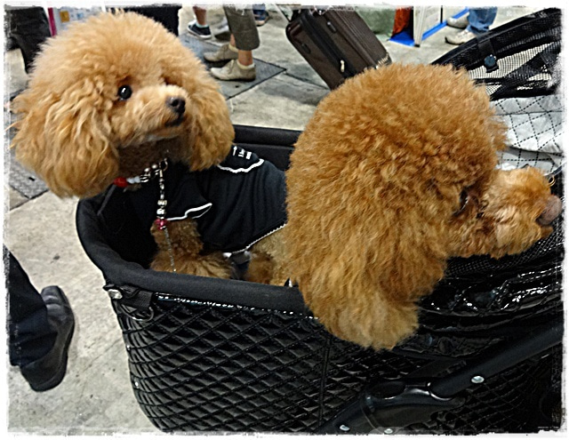 旅犬Lani&Leaのほほん風船記-8.22インターペット
