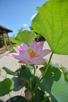 奈良 ドレスショップ☆アトリエステディ ブライダルコーディネーターのブログ-6月 蓮の花