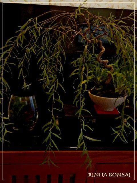 bonsai life      -盆栽のある暮らし- 東京の盆栽教室 琳葉(りんは)盆栽 RINHA BONSAI-琳葉盆栽 六角堂柳