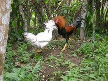 夫婦世界旅行-妻編-闘う鶏