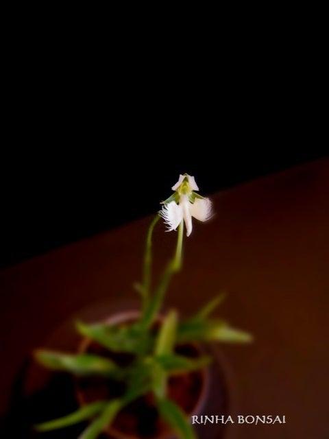bonsai life      -盆栽のある暮らし- 東京の盆栽教室 琳葉(りんは)盆栽 RINHA BONSAI-琳葉盆栽 サギソウ