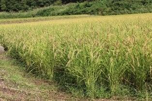 いのち めぐる たんぼ                       トキを呼ぶ田んぼ 自然栽培でお米作っています