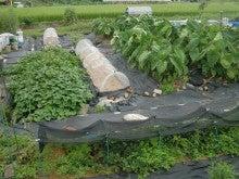 耕作放棄地を剣先スコップで畑に開拓!有機肥料を使い農薬無しで野菜を栽培する週2日の農作業記録 byウッチー-130902ウッチー式・今日の農作業の出来栄え01