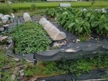 耕作放棄地を剣先スコップで畑に開拓!有機肥料を使い農薬無しで野菜を栽培する週2日の農作業記録 byウッチー-130903ウッチー式・今日の農作業の出来栄え01