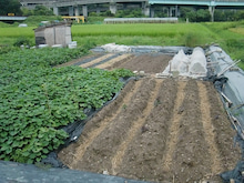 耕作放棄地を剣先スコップで畑に開拓!有機肥料を使い農薬無しで野菜を栽培する週2日の農作業記録 byウッチー-130903ウッチー式・今日の農作業の出来栄え05
