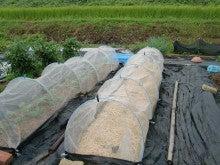 耕作放棄地を剣先スコップで畑に開拓!有機肥料を使い農薬無しで野菜を栽培する週2日の農作業記録 byウッチー-130903ブロッコリーハイツSP0805蒔き#2定植04