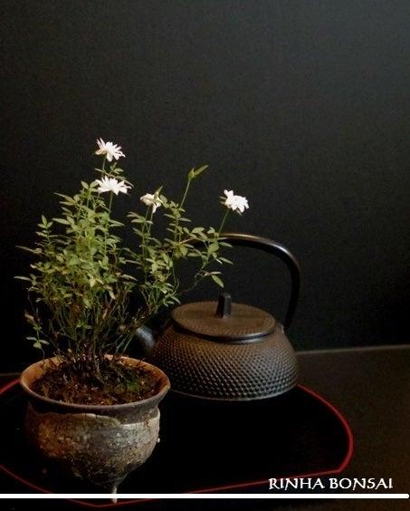 bonsai life      -盆栽のある暮らし- 東京の盆栽教室 琳葉(りんは)盆栽 RINHA BONSAI-極姫バラ 琳葉盆栽