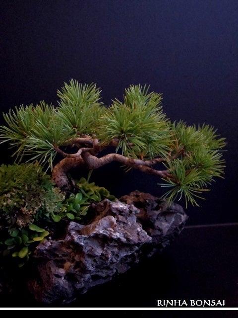 bonsai life      -盆栽のある暮らし- 東京の盆栽教室 琳葉(りんは)盆栽 RINHA BONSAI-琳葉盆栽 石つき 五葉松