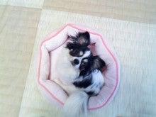 愛犬チワちゃん