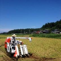 新潟は稲刈り真っ最中…