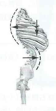 $腰痛・肩こりを整体&エクササイズで根本から改善!西新宿おくがわ整体院blog 新宿 西新宿 中野 渋谷-胸郭2