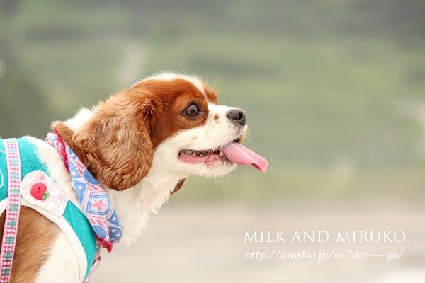キャバリア☆ミルクとミルコ~のんびり日記~☆2