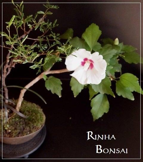 bonsai life      -盆栽のある暮らし- 東京の盆栽教室 琳葉(りんは)盆栽 RINHA BONSAI-琳葉盆栽 ムクゲ