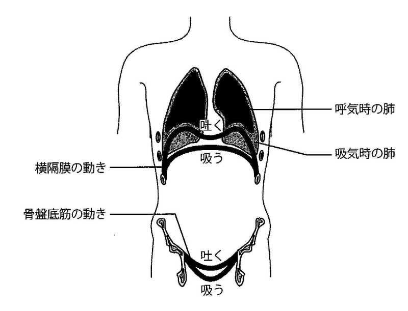 呼吸時の肺
