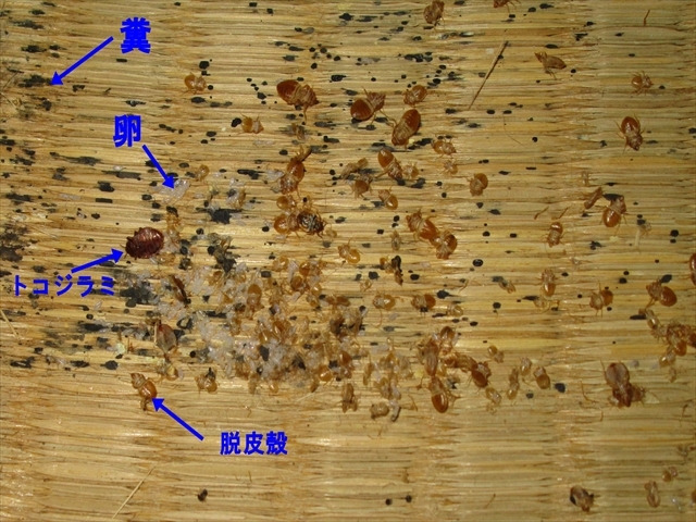 大量のトコジラミの脱皮殻・糞・卵