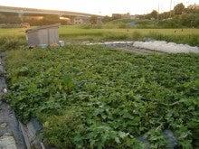 耕作放棄地を剣先スコップで畑に開拓!有機肥料を使い農薬無しで野菜を栽培する週2日の農作業記録 byウッチー-130917ウッチー式・今日の農作業の出来栄え04