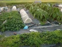 耕作放棄地を剣先スコップで畑に開拓!有機肥料を使い農薬無しで野菜を栽培する週2日の農作業記録 byウッチー-130917ウッチー式・今日の農作業の出来栄え01