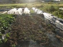 耕作放棄地を剣先スコップで畑に開拓!有機肥料を使い農薬無しで野菜を栽培する週2日の農作業記録 byウッチー-130917ジャガイモデジマ0827定植第1回目土寄08