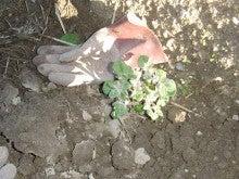 耕作放棄地を剣先スコップで畑に開拓!有機肥料を使い農薬無しで野菜を栽培する週2日の農作業記録 byウッチー-130917ジャガイモデジマ0827定植第1回目土寄03