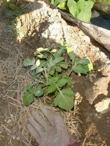 耕作放棄地を剣先スコップで畑に開拓!有機肥料を使い農薬無しで野菜を栽培する週2日の農作業記録 byウッチー-130917ジャガイモデジマ0827定植第1回目土寄02
