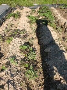 耕作放棄地を剣先スコップで畑に開拓!有機肥料を使い農薬無しで野菜を栽培する週2日の農作業記録 byウッチー-130917ジャガイモデジマ0827定植第1回目土寄05