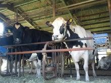 民の声新聞-乳牛②
