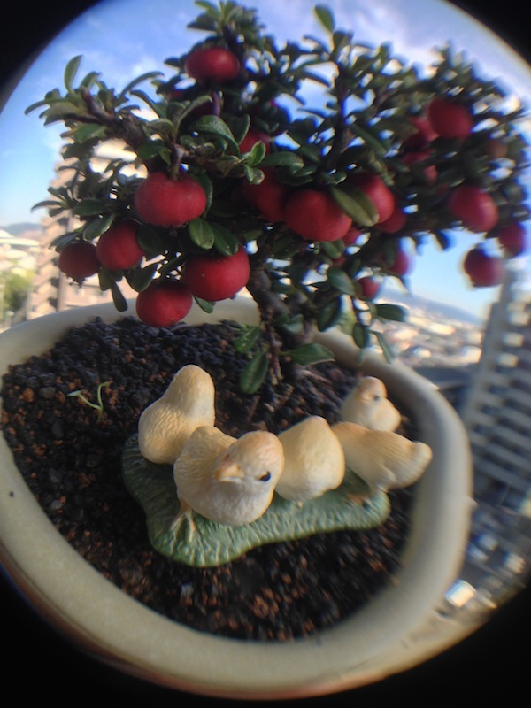 盆栽丼 BONSAI★DON 特盛り入りました~♪-ミニ盆栽白紫檀を魚眼レンズとヒヨコ2