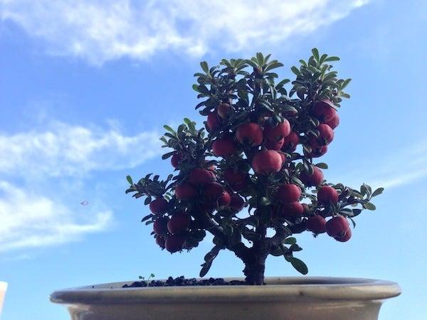 盆栽丼 BONSAI★DON 特盛り入りました~♪-ミニ盆栽白紫檀