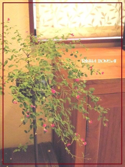 bonsai life      -盆栽のある暮らし- 東京の盆栽教室 琳葉(りんは)盆栽 RINHA BONSAI-琳葉盆栽 屋久島萩