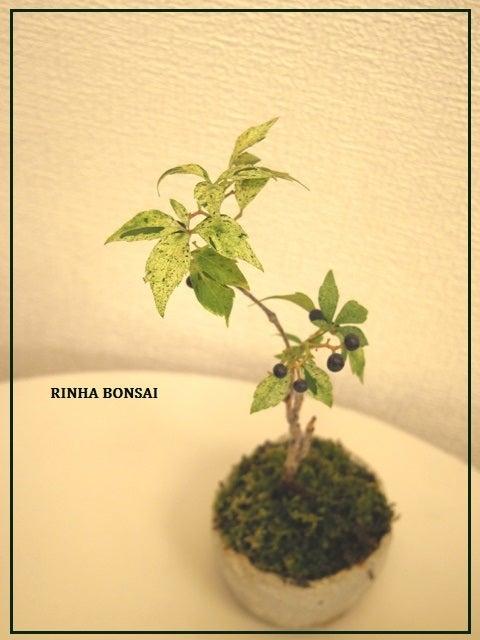 bonsai life      -盆栽のある暮らし- 東京の盆栽教室 琳葉(りんは)盆栽 RINHA BONSAI-琳葉盆栽 アメリカツタ