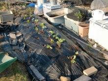 耕作放棄地を剣先スコップで畑に開拓!有機肥料を使い農薬無しで野菜を栽培する週2日の農作業記録 byウッチー-131001イチゴかおりん定植09