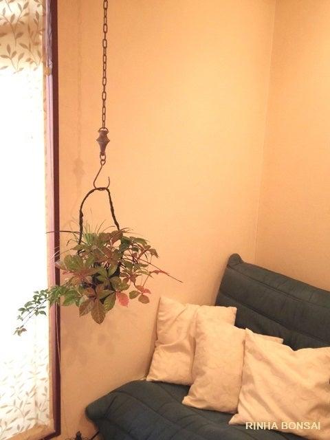 bonsai life      -盆栽のある暮らし- 東京の盆栽教室 琳葉(りんは)盆栽 RINHA BONSAI-アメリカヅタ 琳葉盆栽