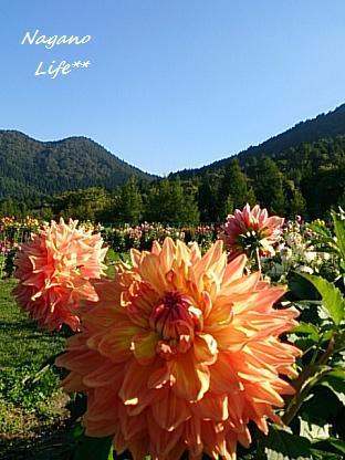 Nagano Life**-ダリア