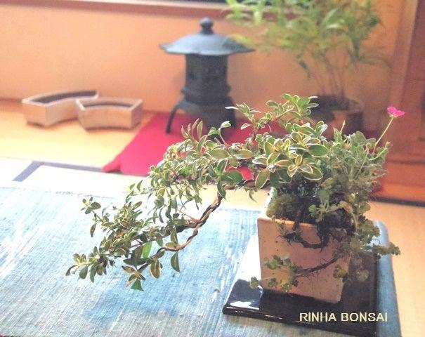 bonsai life      -盆栽のある暮らし- 東京の盆栽教室 琳葉(りんは)盆栽 RINHA BONSAI-琳葉盆栽 ハクチョウゲ