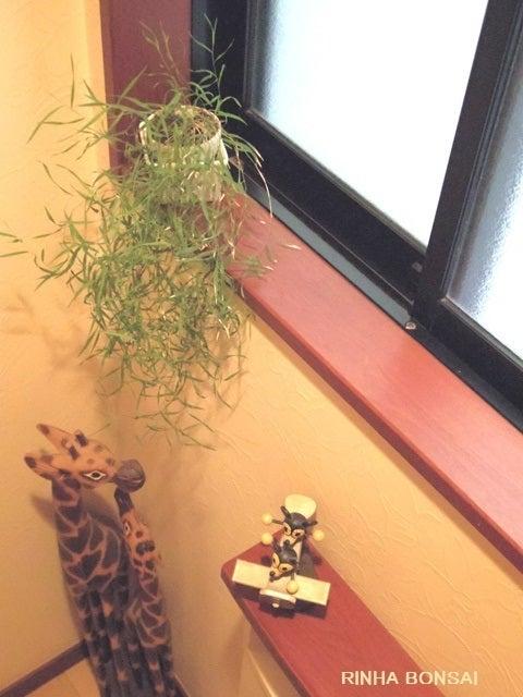 bonsai life      -盆栽のある暮らし- 東京の盆栽教室 琳葉(りんは)盆栽 RINHA BONSAI-琳葉盆栽 紀州オギ