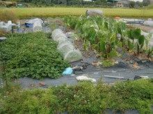 耕作放棄地を剣先スコップで畑に開拓!有機肥料を使い農薬無しで野菜を栽培する週2日の農作業記録 byウッチー-131008ウッチー式・今日の農作業の出来栄え01