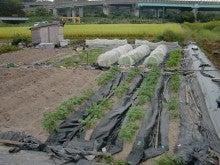 耕作放棄地を剣先スコップで畑に開拓!有機肥料を使い農薬無しで野菜を栽培する週2日の農作業記録 byウッチー-131008ウッチー式・今日の農作業の出来栄え05