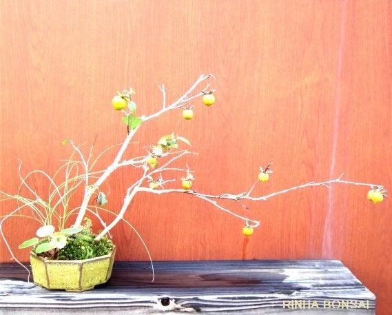 bonsai life      -盆栽のある暮らし- 東京の盆栽教室 琳葉(りんは)盆栽 RINHA BONSAI-ロウヤガキ 老爺柿 琳葉盆栽