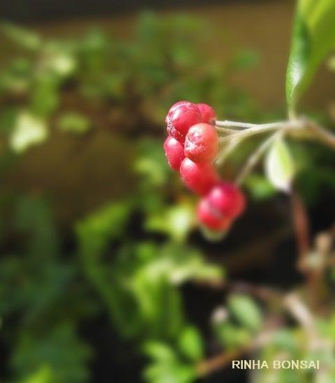 bonsai life      -盆栽のある暮らし- 東京の盆栽教室 琳葉(りんは)盆栽 RINHA BONSAI-西洋カマツカ 琳葉盆栽