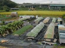 耕作放棄地を剣先スコップで畑に開拓!有機肥料を使い農薬無しで野菜を栽培する週2日の農作業記録 byウッチー-131015ウッチー式・今日の農作業の出来栄え03