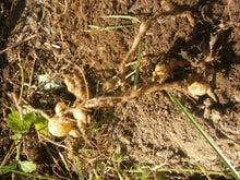 炭素循環農法と自然農法組み合わせてやりたいな~~-DSC_0624.JPG