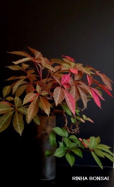 bonsai life      -盆栽のある暮らし- 東京の盆栽教室 琳葉(りんは)盆栽 RINHA BONSAI-琳葉盆栽 アメリカツタ 紅葉