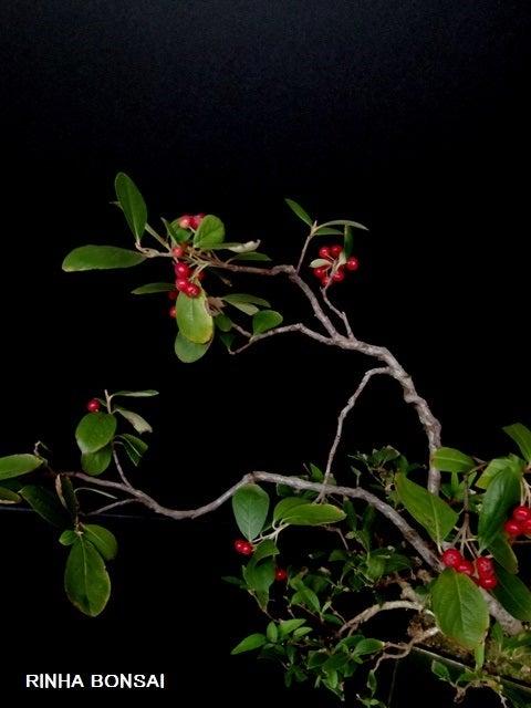 bonsai life      -盆栽のある暮らし- 東京の盆栽教室 琳葉(りんは)盆栽 RINHA BONSAI-琳葉盆栽 西洋カマツカ
