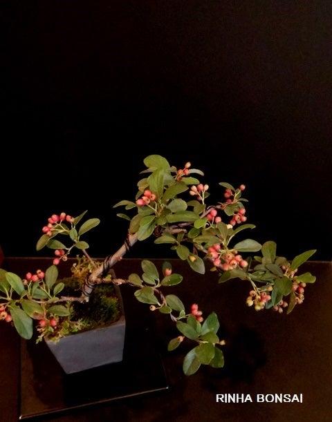 bonsai life      -盆栽のある暮らし- 東京の盆栽教室 琳葉(りんは)盆栽 RINHA BONSAI-コトネアスター 琳葉盆栽